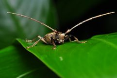 Long Horn Insect - Front View Stock Photo