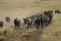Long Horn Road I. Huge herd of White-Bearded Wildebeest following a sand road on the African plains Royalty Free Stock Photo