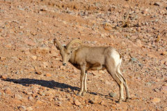 Long Horn Sheep Royalty Free Stock Photos