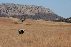Long horn steer. At wichita mountains royalty free stock photo