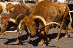 Long Horn Steer Royalty Free Stock Photography