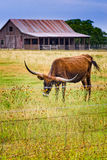 Long horn steer on a Texas rural road. Texas hill country road with rustic barn, longhorn and meadow of wild flowers Royalty Free Stock Image
