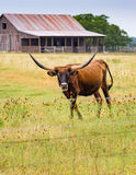 Long horn steer on a Texas rural road. Texas hill country road with rustic barn, longhorn and meadow of wild flowers Stock Photos