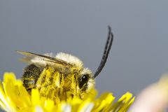 Long horned bee Royalty Free Stock Images