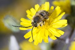 Long horned bee Stock Photo