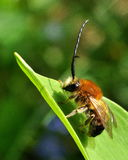 Long Horned Bee male. Long Horned Bee. Eucera longicornis male on a plant stock images