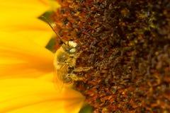 Long-horned Bee - Melissodes species Stock Image