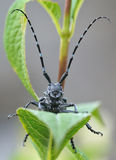 Long-horned beetle Stock Photos