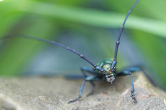 Long-horned beetle Royalty Free Stock Photography