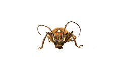Long-horned beetle Stock Photography
