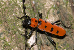A long-horned beetle stock image