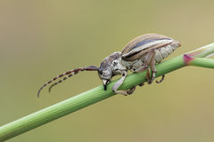 Long-horned beetle Royalty Free Stock Image