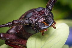 Long Horned Beetle Stock Images
