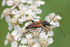 Long-horned beetle, Leptura melanura. On flowers of common yarrow Stock Photography
