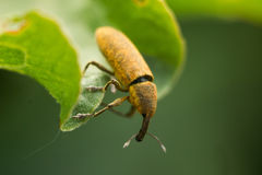 The Long-horned beetle - Lixus bardanae stock images