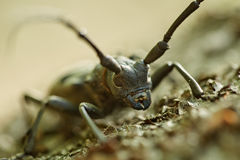 Long horned beetle Royalty Free Stock Photo