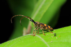 Long-horned Beetle in Southeast Asia. Royalty Free Stock Photography