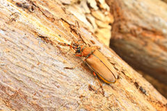 Long Horned Beetle on tree Stock Images