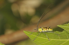 Long-horned beetles Royalty Free Stock Images