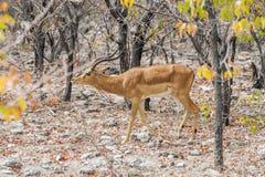 Long horned Black-faced impala deer. Aepyceros melampus walking among trees in autumn african bush. Etosha national park, Namibia Stock Photo