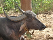 Long horned buffalo Royalty Free Stock Image