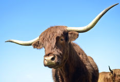 Long horned bull Stock Photo