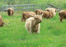 Long Horned Cattle 2 Royalty Free Stock Photos