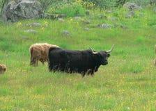 Long Horned Cattle Stock Image