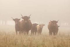 Long horned cattle in the morning mist Stock Images