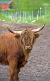 Long horned cow Royalty Free Stock Photos