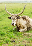 Long horned cow Stock Image