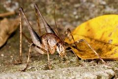 A long-horned grasshopper Stock Image