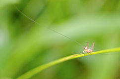 Long Horned Grasshopper Stock Image