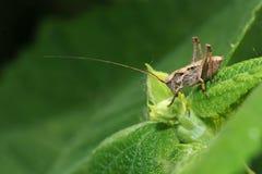 Long-horned grasshopper Royalty Free Stock Photo