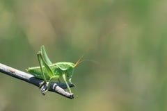 Long-horned grasshopper Stock Photography