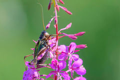 Long-horned grasshopper. The close-up of a male long-horned grasshopper in pink flowers. Scientific name: Gampsocleis sedakovii Stock Image