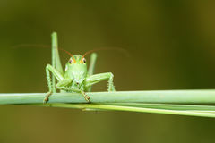 Long-horned grasshopper Royalty Free Stock Photos