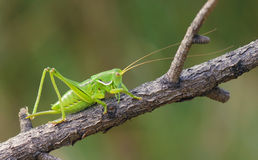 Long-horned grasshopper Royalty Free Stock Images