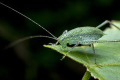 Long-horned Grasshopper/Tettigonia Viridissima Royalty Free Stock Image