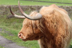 Long Horned Highland Cattle. A highland cow with fierce looking long horns and a rural countryside background Royalty Free Stock Image