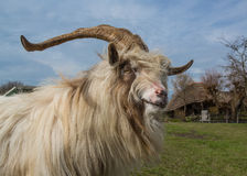 Long horned, long hair Dutch sheep Royalty Free Stock Images