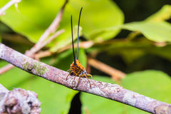 Long-horned Orb-weaver Spider Stock Images