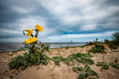 Long-horned poppy. Beach landscape with long-horned poppy in foreground on a shingle ridge Stock Image