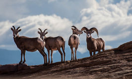 Long horned sheep. In the valley of fire national park Stock Photos