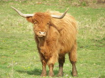 Long Horned Steer. Beautiful long horned steer is very curious as to what is going on Stock Images