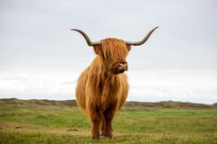 Single Scottish highlander on the dutch island of texel stock image