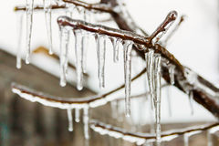 Long icicles hanging from frozen branch in winter Royalty Free Stock Image