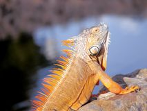 Long iguana Royalty Free Stock Photography