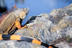 Long iguana Stock Images