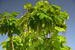 The long Indian Bean pods. Southern catalpa with its bean pods stock photos